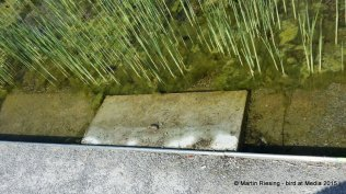 Ausstiegsrampe für Wechselkröten im Bednarpark, Becken mit Spalt